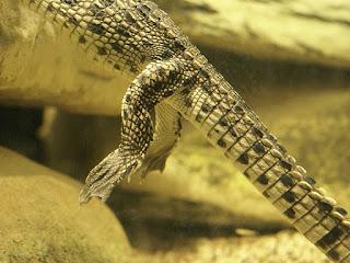 Crocodile du Nil - Crocodylus niloticus