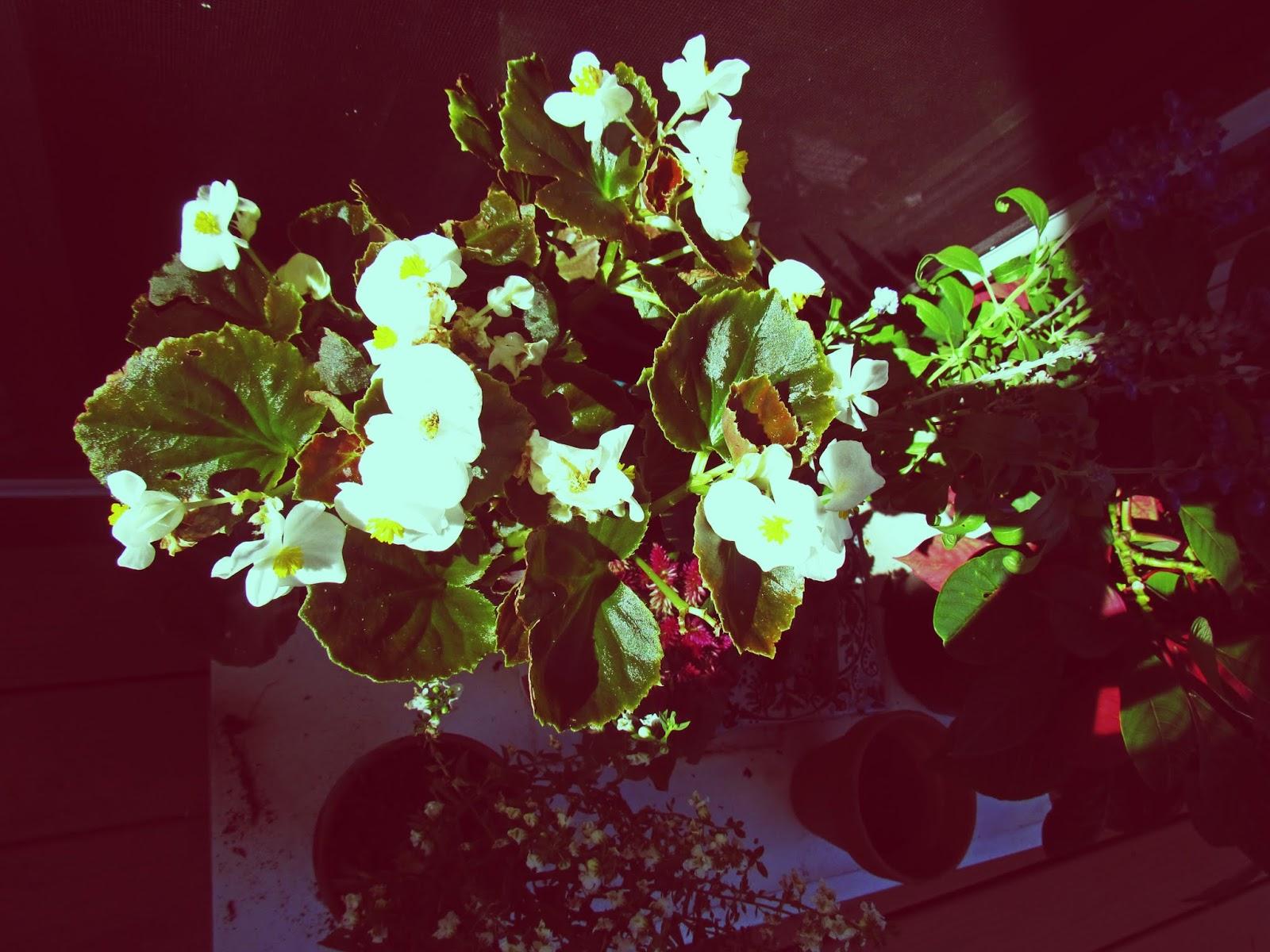 Flowering Begonia Houseplant in the Garden