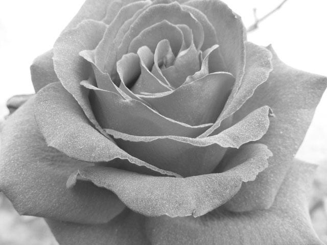 Significado de las rosas grises