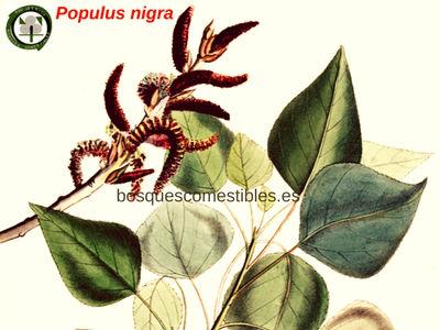Álamo o Chopo, los Griegos y Romanos lo nombraron Populus (por considerarse un árbol del pueblo).