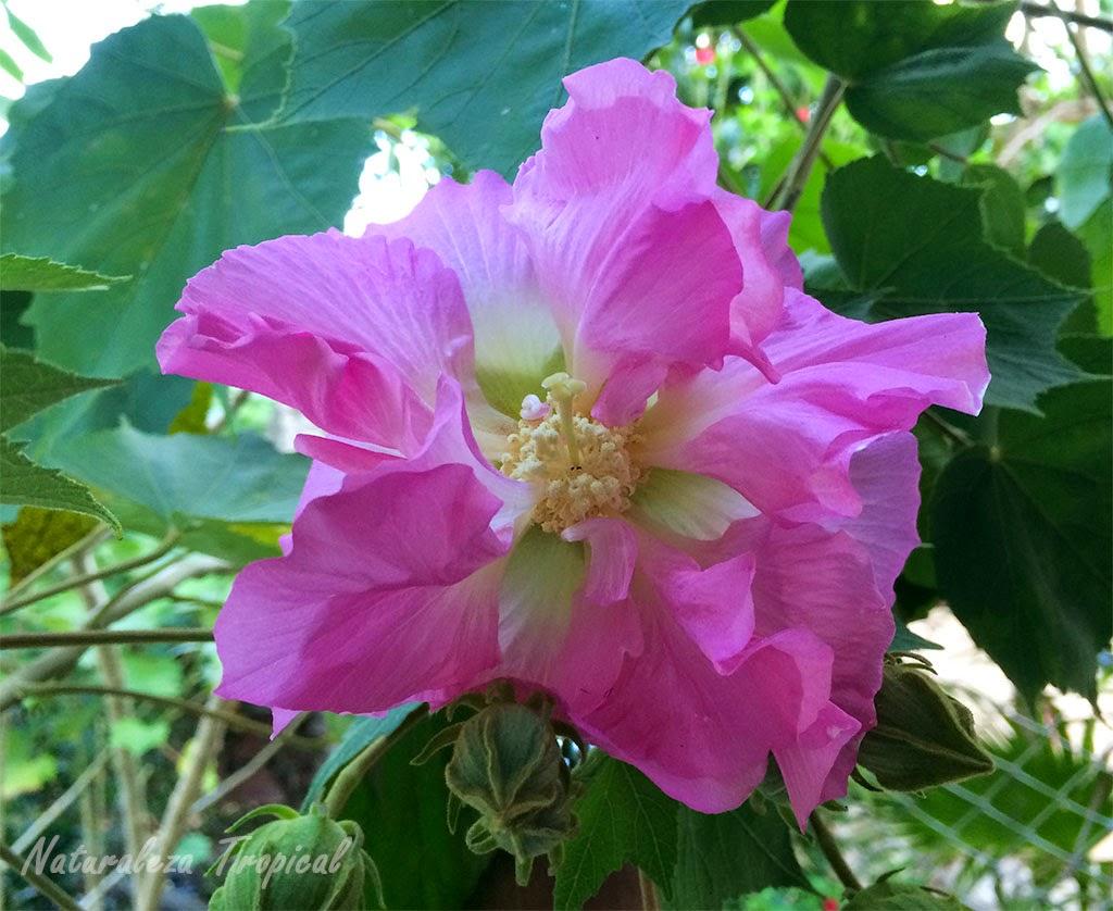 Flor Rosa de mayo en horas de la tarde