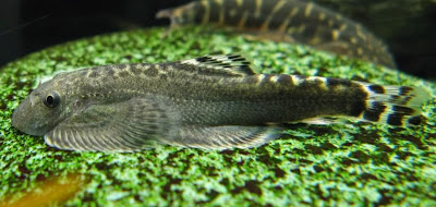 Locha Mariposa