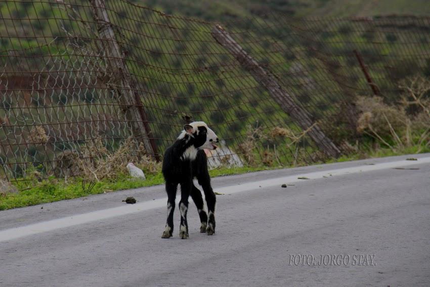 πρόβατα συγκαταλέγονται στα πολυγαμικά ζώα. Κατά συνέπεια σε ένα κοπάδι 973987eb113