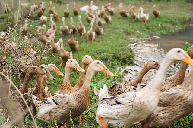 Bande de canards qui déambulent gaiement