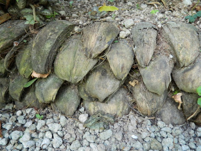 Coconut husk retaining wall at Diamond Botanical Gardens Soufriere St. Lucia by garden muses-not another Toronto gardening blog