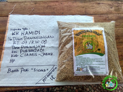 Benih pesana KH. HAMIDI Ciamis, Jabar..  (Sebelum Packing)