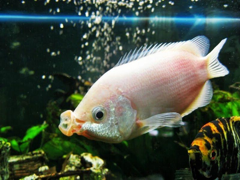 Ikan Tambakan (Helostoma temminckii) | Biota Dunia Perairan Ikan Tambakan