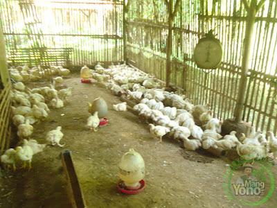 Ayam potong di usaha potong ayam Mang Jamal, Kmp. Ciyuda, Des. Bendungan, Kec. Pagaden Barat, Subang