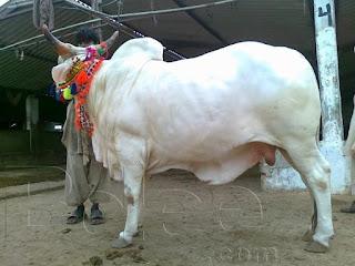 Karachi Sohrab Goth Cow Mandi 2016