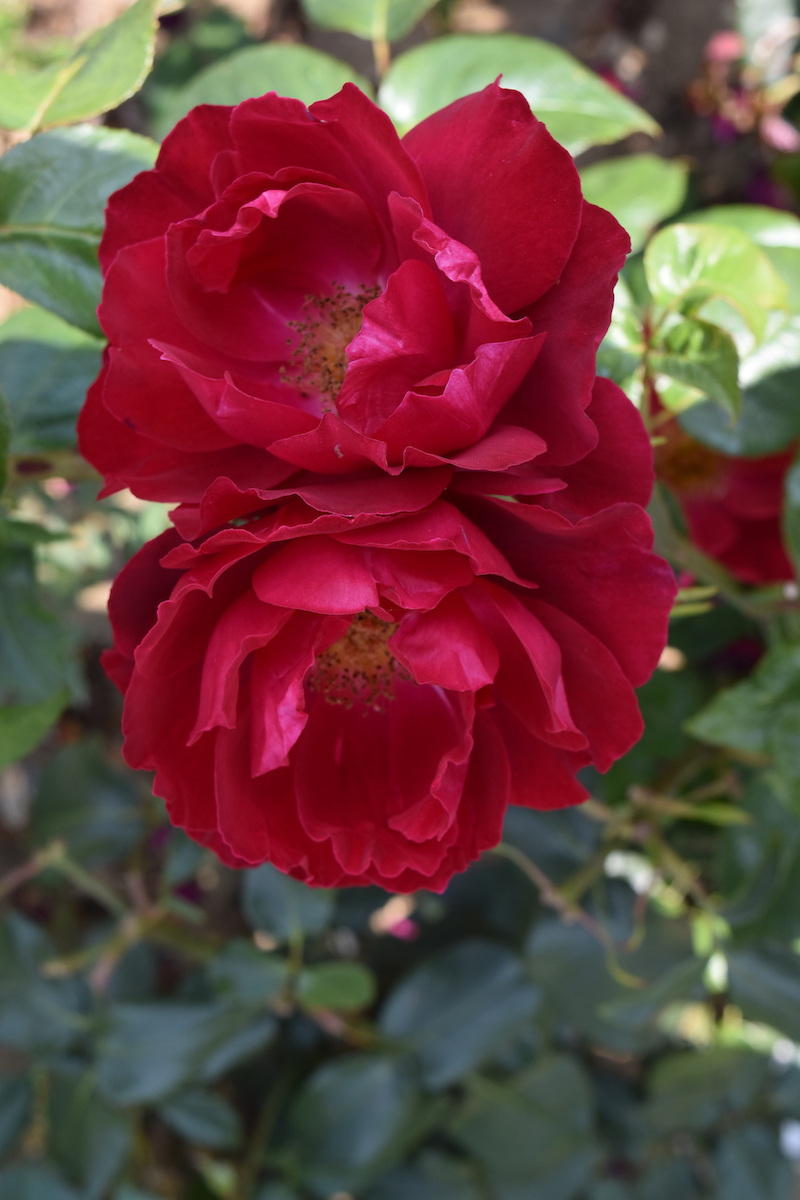 Rosa PAPWORTH'S PRIDE ('Beamelon') (Peter Beales Roses)