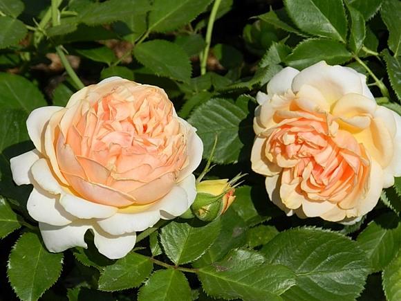 Genevieve Orsi rose сорт розы фото