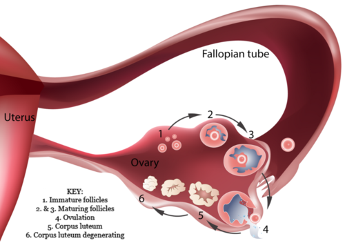 Tuba falopi saluran untuk ovulasi oosit (sel telur)