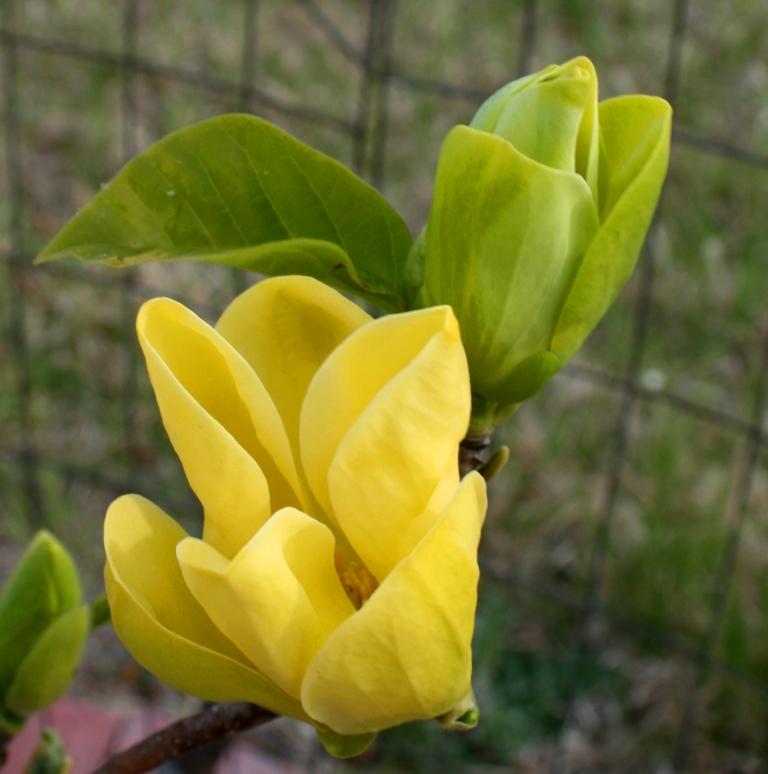 Garden musings yellow bird magnolia yellow bird magnolia mightylinksfo