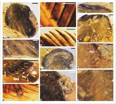 Incredibile scoperta: coda piumata dinosauro dentro ambra