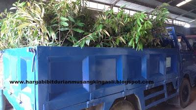 Bibit durian Musang King murah bpk Faisal 082.137.433.114