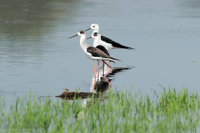 Black-winged Stilts at the Hesaraghatta Lake bed