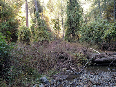 Blackberry invasive removal along China Creek, Siskiyou County, California