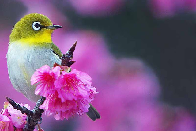 Mejiro in cherry blossoms, birds, flowers, sakura, Japanese White Eye