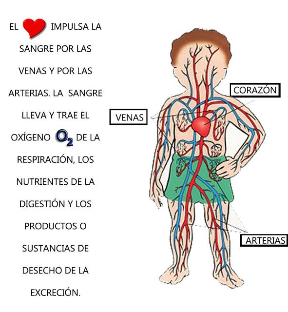 3º E.P. en Leopoldo Alas: EL SISTEMA CIRCULATORIO