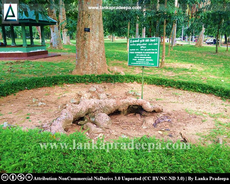 The first rubber plant in Sri Lanka, Henarathgoda