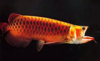 Keindahan ikan arwana selain bentuk badan Kabar Terbaru- PENYEBAB SUNGUT AROWANA PUTUS