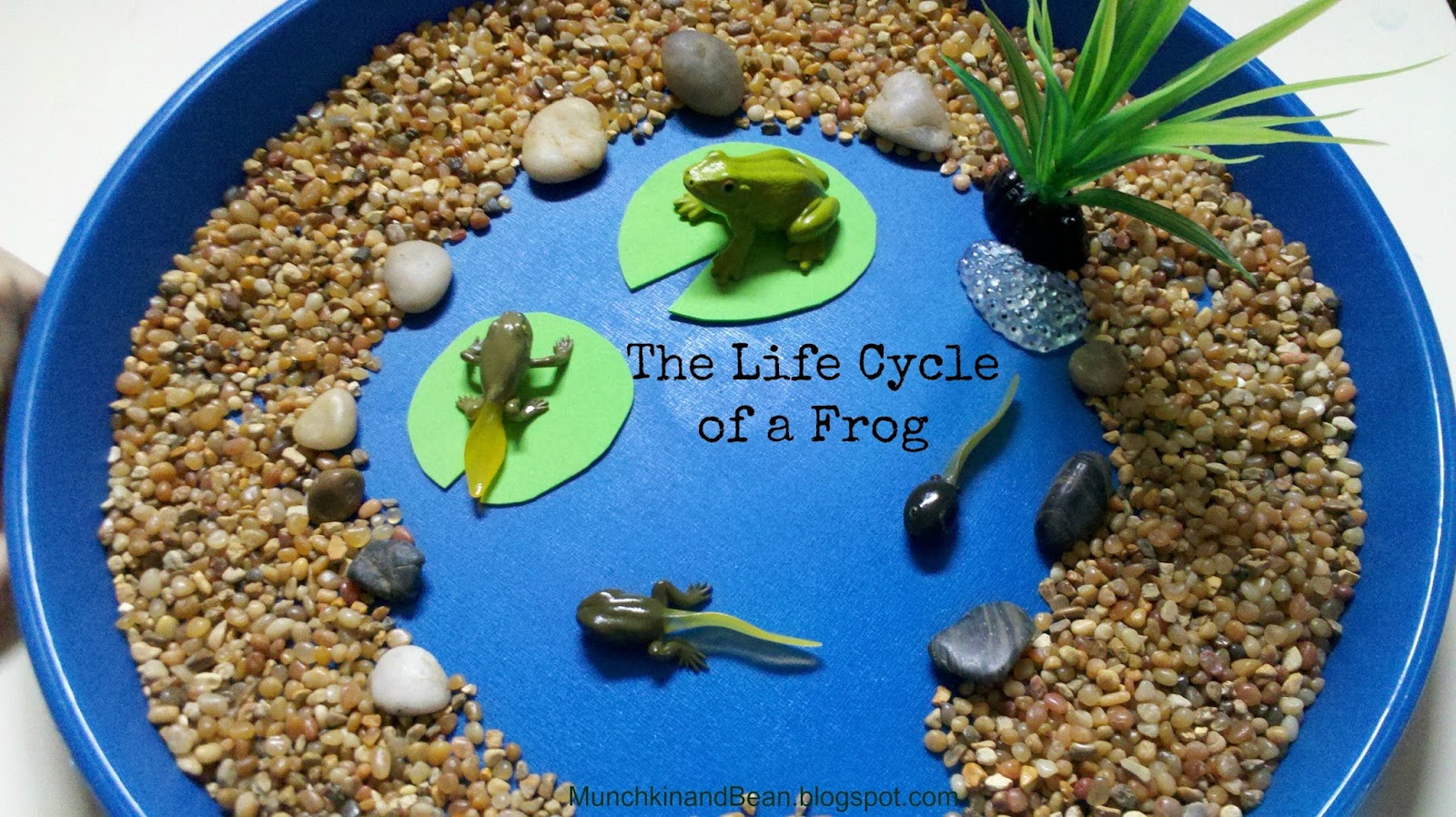 Munchkin And Bean The Life Cycle Of A Frog