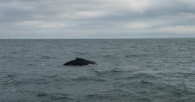 Avisatamiento de ballenas en Husavik