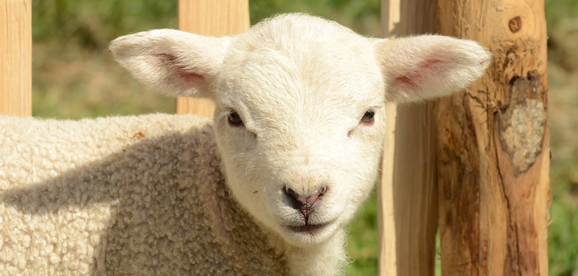Artificial Intelligence Helps Scientists Identify Pain in Sheep