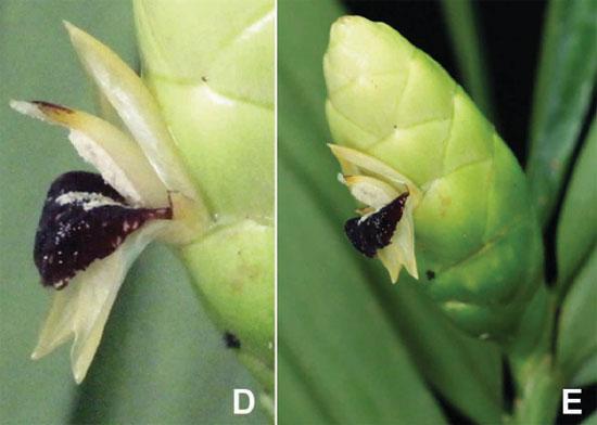 Zingiber atroporphyreus