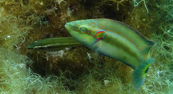 Laporan Penelitian Perlindungan Telur Ikan Symphodus ocellatus dari Penyelundup Sperma