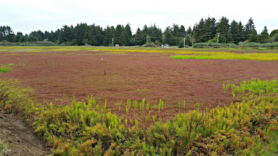 This is what a cranberry bog, ready for harvest, looks like.