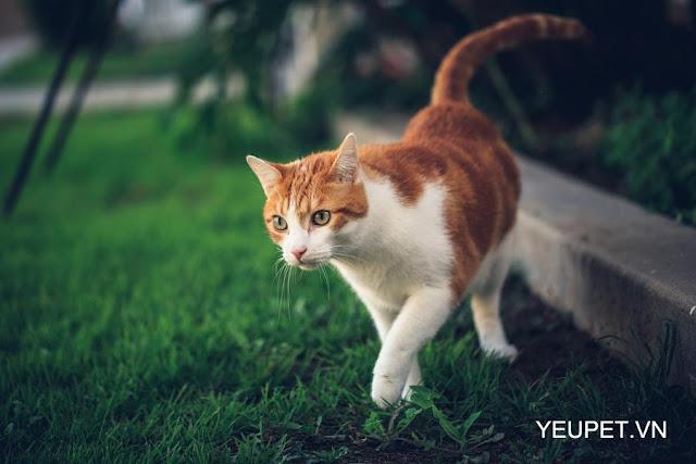 3 bước đơn giản để giúp mèo của bạn đi dạo