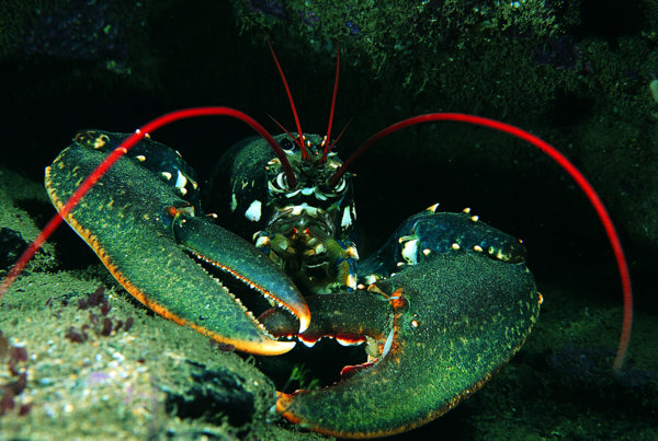 Devon Wildlife Trust - Common Lobster Photo copyright Paul Naylor (All rights reserved)