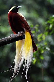 Burung Surga Cendrawasih 1