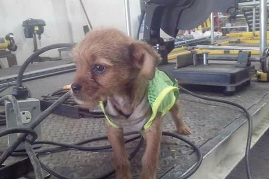 Trabajadores adoptan perro que fue arrojado de un automovil