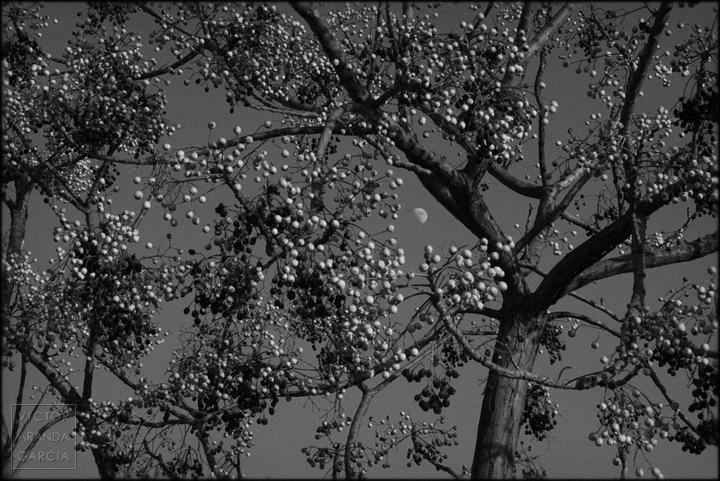 fotografia,luna,frutos,arbol,ramas,murcia,limites,naturaleza,arte