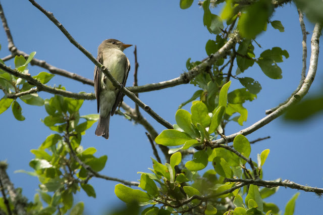 Eastern Wood-Pewee, Smith Oaks Sanctuary