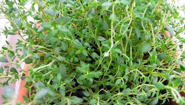 A erva mais poderosa que destrói dores do estômago, diarréia, artrite, dor de garganta, vírus da gripe...