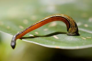 gambar Haemadipsa (leech tiger)