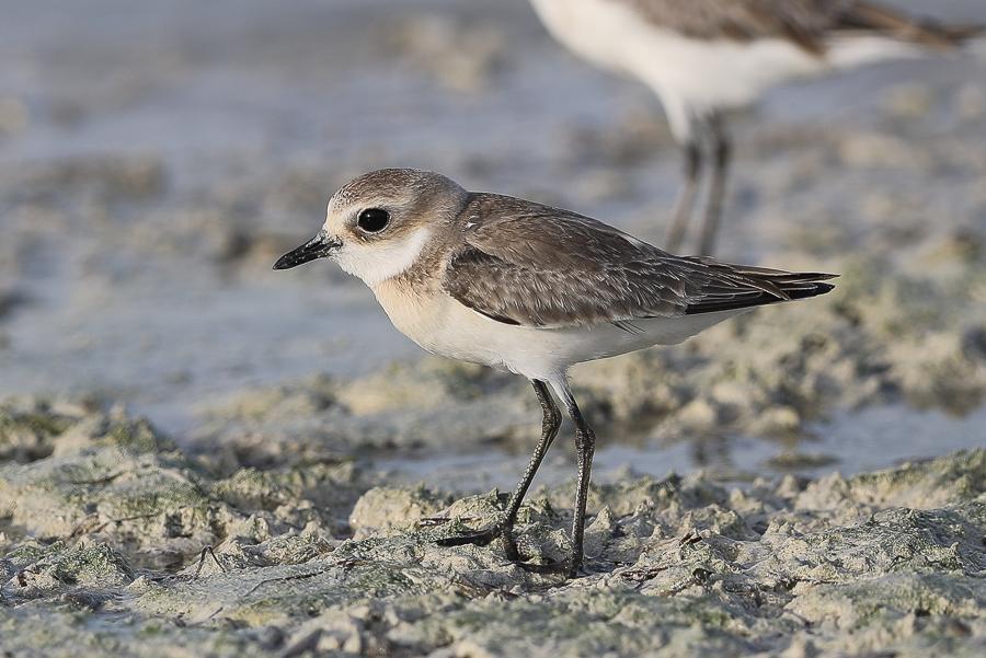Lesser Sand Plovers – Dammam Wader Roost