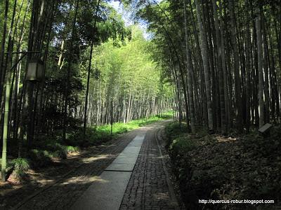 Bosque de bambú en la parte baja de Woo Yong Shan - Hangzhou