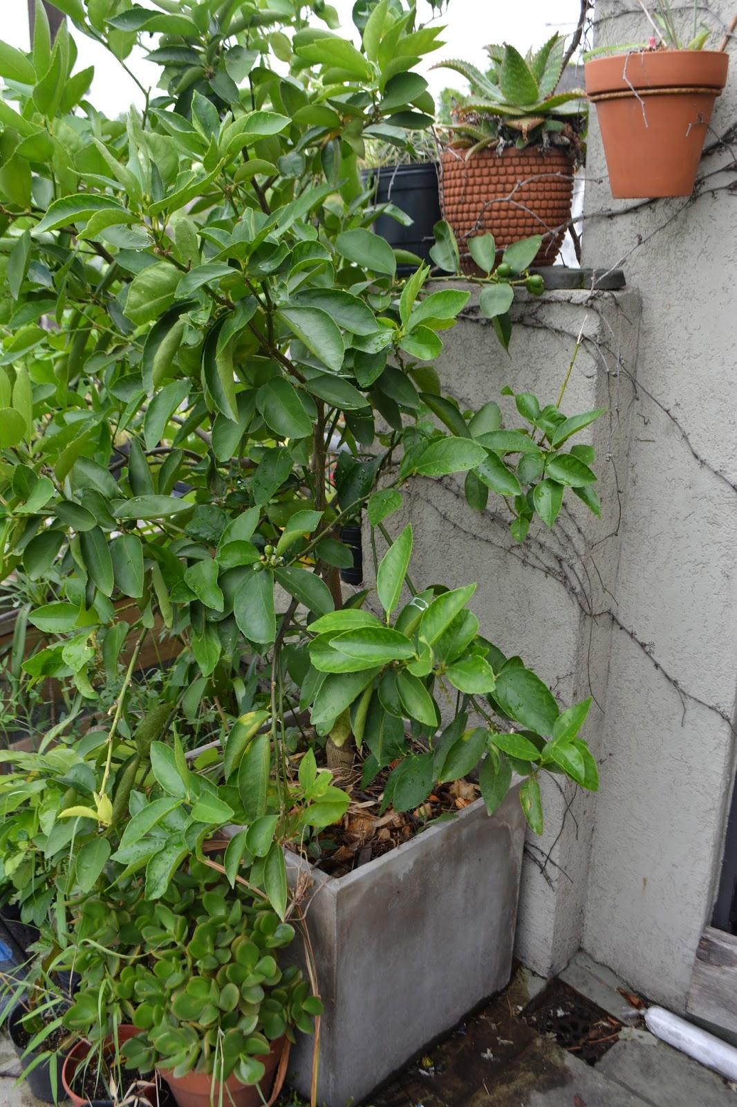 Limón Tahiti- caipirinha