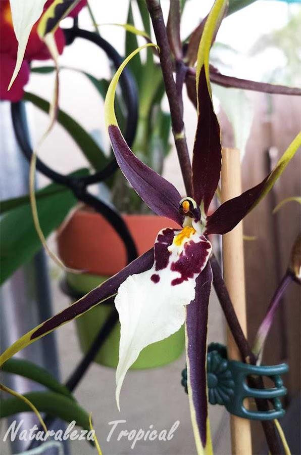 Flor de una especie del género Brassia
