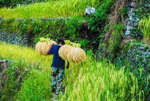 Grain Farmers in Batad