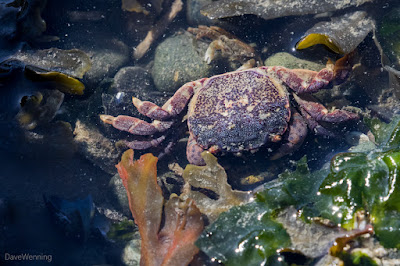 Purple Shore Crab working the Tidepool