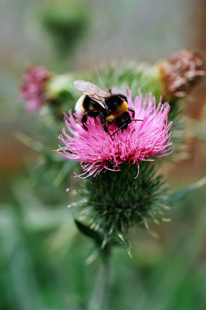 BUMBLE BEE THISTLE, HORLEY 2014 © VAC FIELDWORK, FLOWERS, ALLOTMENT FLOWERS, ALLOTMENT