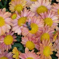 ひらかた菊花展 (岡東中央公園) 菊とハチ