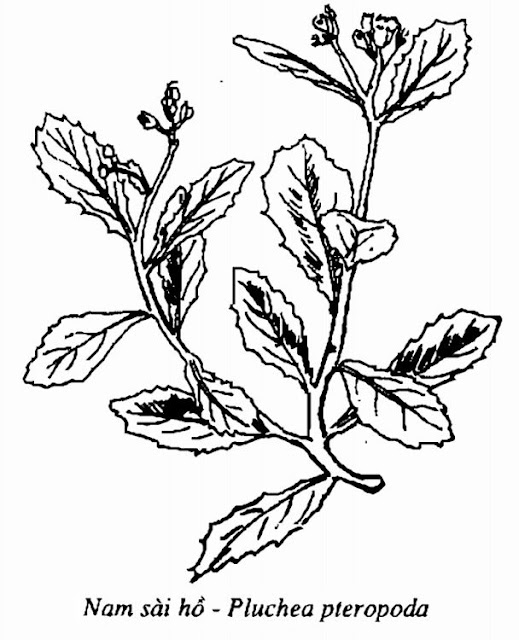 Hình vẽ Nam Sài Hồ - Pluchea pteropoda - Nguyên liệu làm thuốc Chữa Cảm Sốt
