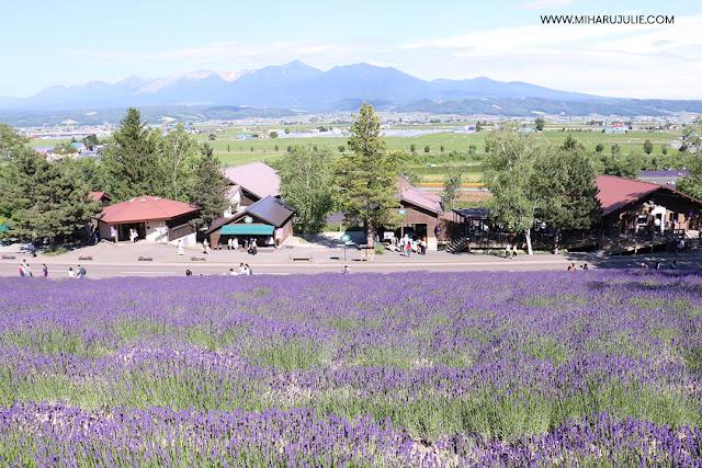 hokkaido lavender season 2018