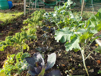 Brassica bed 80 Minute Allotment Green Fingered Blog
